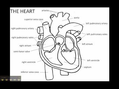 Structure of the Human Heart - YouTube