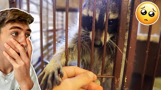 NEW ABUSED RESCUE RACCOON! (ADORABLE)
