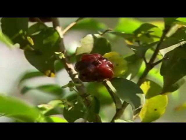 Como Cultivar Pitanga