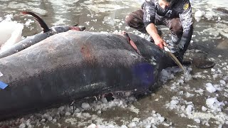 Monster Fish - 800 Pound Giant Marlin fish cutting
