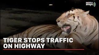 Tiger spots in mid of flyover in Madhya Pradesh, viral vid..