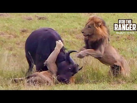 Dramatic Lion Action: Lions Stalk And Catch Buffalo Cow & Newborn Calf!!