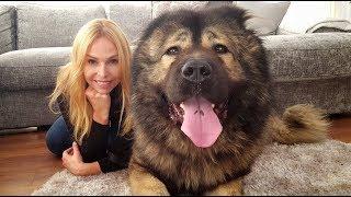 WOLF KILLER? THE CAUCASIAN SHEPHERD OVCHARKA DOG