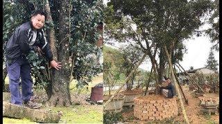 Đại gia đưa bao tải tiền và đổi ô tô tiền tỷ mới mua được cây mộc hương trăm tuổi