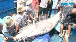 Liên tiếp câu được cá ngừ vây xanh khổng lồ tại Trường Sa