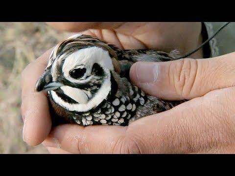 screenshot of youtube video titled Montezuma Quail | Expeditions Shorts (small thumbnail)