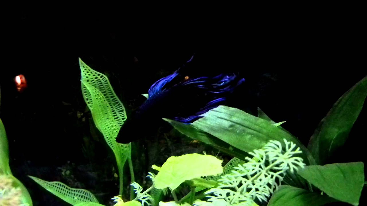 Guppy Fish Vs Betta My Betta Fish Splendens Fighting