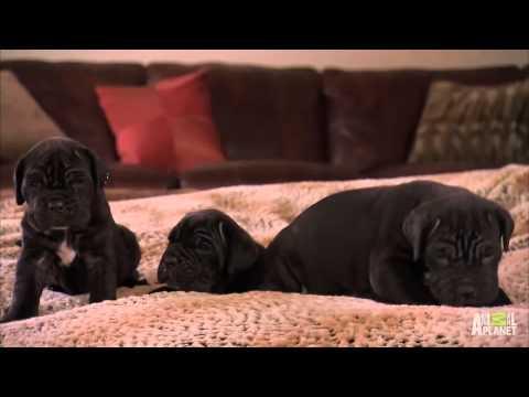 cachorros mastines en ANIMAL PLANET