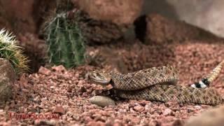ガラガラヘビ9