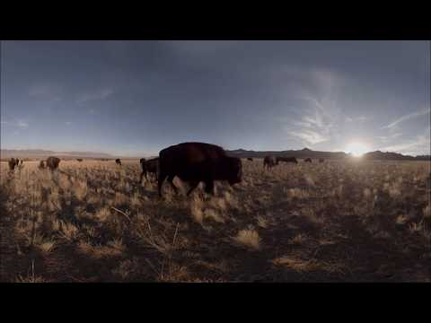 NYT American Bison by Condition One VR