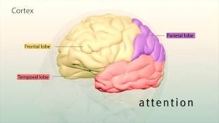 Human Brain: Major Structures and their Functions