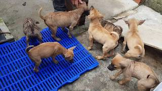 Bán chó Phú Quốc con của cọp và ky