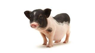 Myth of Mini Pigs & Micro Pigs | Pet Pigs