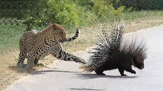 Discovery hunting. Porcupine self defence - animal attack animals for kids