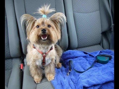 Ellie Beim Hundefriseur Yorkshire Terrier Grooming Yorkshire