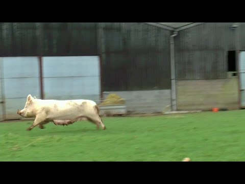 FREEDOM!: Rescue sow and her six piglets explore their forever home