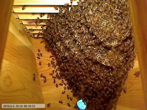 Life Inside The Beehive Part 7 Livet I Bikupan Del 7