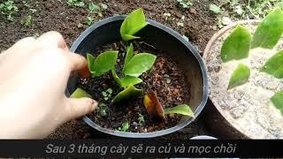 Nhân giống cây kim tiền từ lá| Growing zz plant from leaf