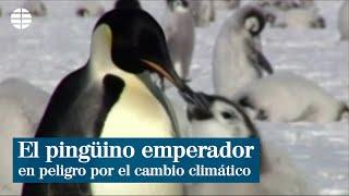 El pingüino emperador, en peligro por el cambio climático