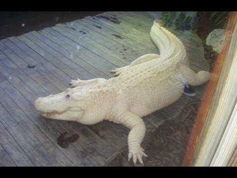 Rare Blue Eyed Albino Alligator Youtube