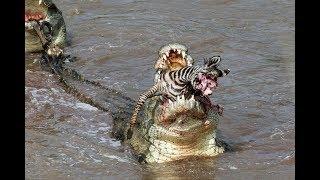 Crocs catch and eat zebra - incredible feeding behaviour!