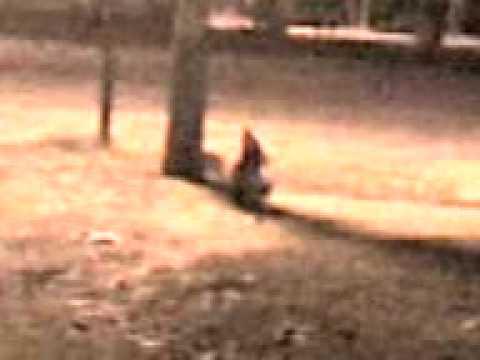 El duende de campo santo salta