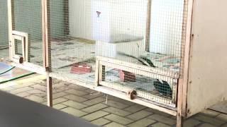 Mô hình nuôi chim chích chòe lửa sinh sản