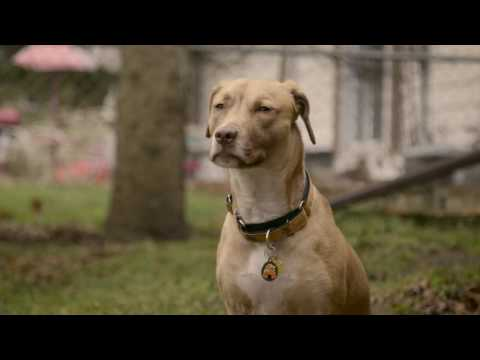 1 in 3 pets will go missing in their lifetime. When Honey Bee, a 1-year-old American Staffordshire terrier went missing, her family was devastated. After spending 17 days alone and wounded in the woods, Honey Bee was reunited with her family, thanks to a nationwide network of pet rescuers, specially trained lost pet specialists and a tiny microchip.