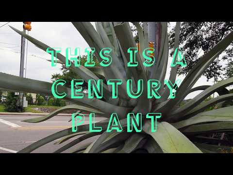 What is a Century Plant?