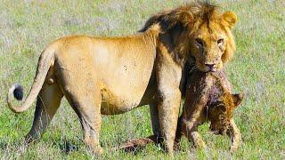 TOP 5 LION VS LION MOMENTS