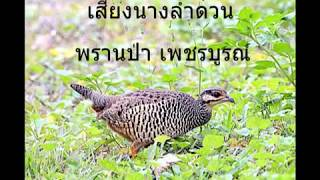 เสียงนกกระทาป่าตัวเมีย (นางลำดวน) พราน ป่าเพชรบูรณ์ 17 ตุลาคม 2017