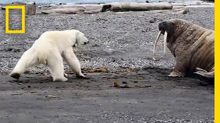 Mother Polar Bear, Desperate for Food, Tests Walrus | National Geographic