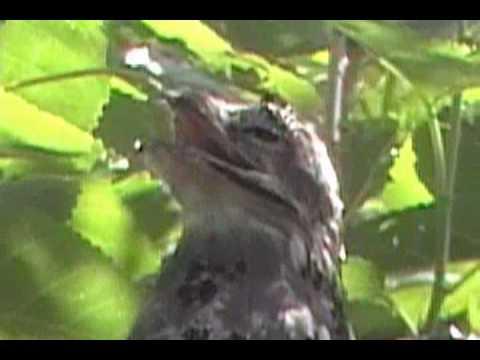 Kakuy (Nyctibius Griseus) en una mora, en