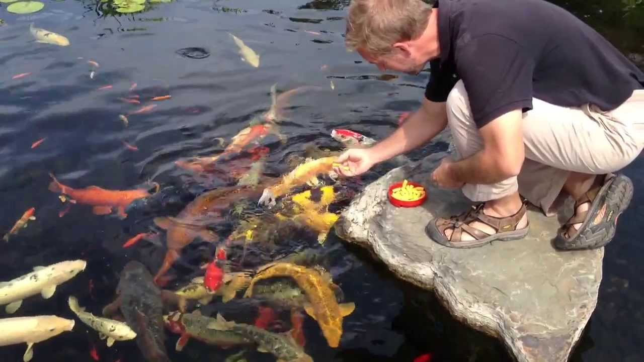 Koi fish york pa koi pond care koi feeding splash supply for Koi pond upkeep