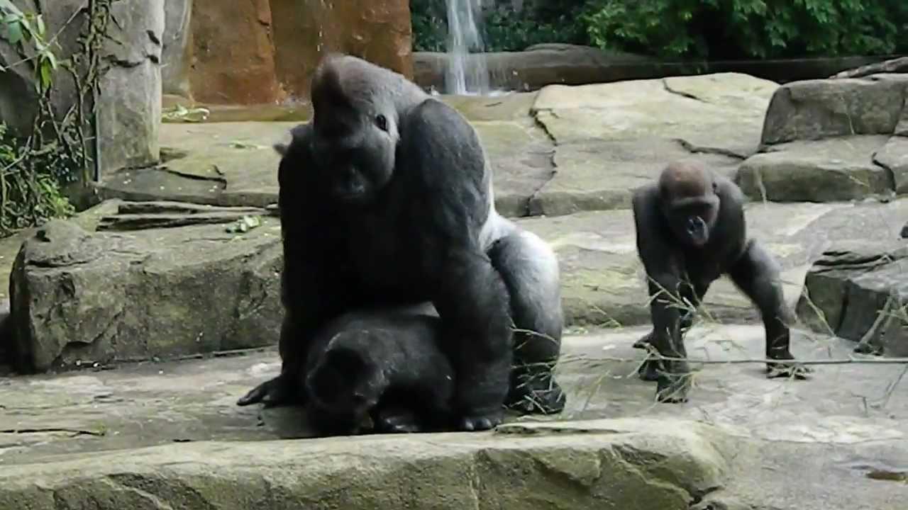 Gorilla Porn