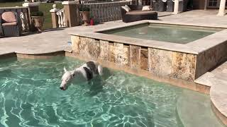 Funny Great Dane Debates If He Should Go For a Swim
