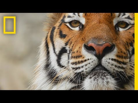 Tigers 101 | National Geographic