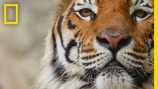 Tigers 101   National Geographic