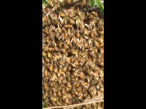Urban Bee Swarm - www.ashevillage.org