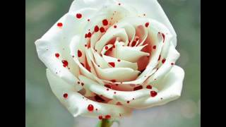 Những loài hoa hồng đẹp và lại trên thế giới
