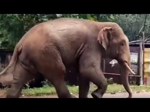Gone viral: Wild elephant roams through Odisha town