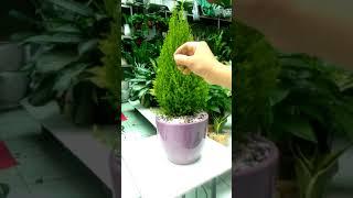 Cây Tùng - cây phong thuỷ tuổi Thân (con Khỉ)