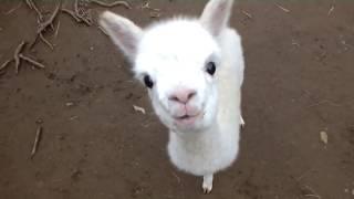❤ Cute and Adorable  Baby Alpacas ❤
