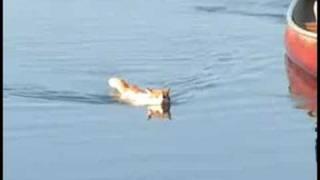 Merlin the Cat swims again