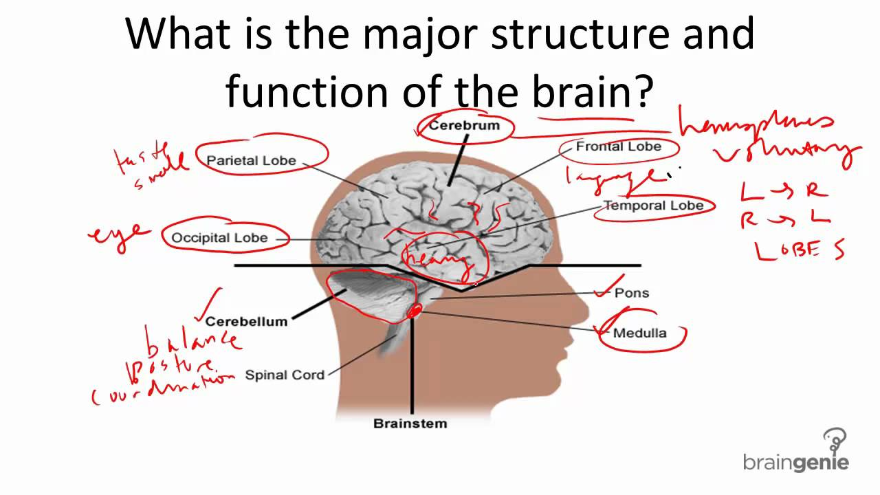 8 1 1 Brain Structure and Function - YouTube