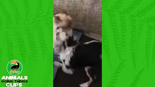 Patient Cat Tolerates Rambunctious Dogs | Animals Doing Things