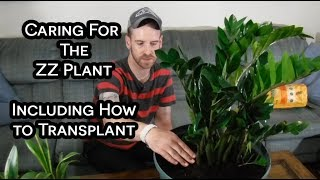 Transplanting and Caring for The ZZ Plant