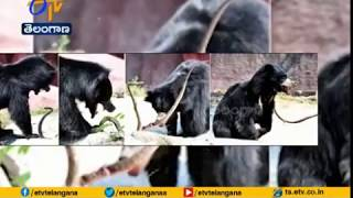 Snake Attacked by Bear at Kakatiya Zoological Park in Wara..