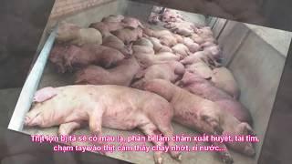 Cách Nhận diện thịt tả lợn châu Phi cần lưu ý