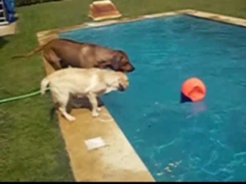 Water Dogs - Buda (Rhodesian Ridgeback) training Tica (Labrador)